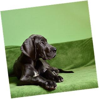 https://pixabay.com/en/dog-dog-breed-large-puppy-1966394/