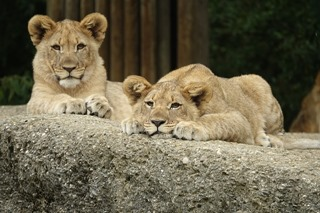lion-2449282_640