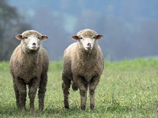 sheep-2784671_640